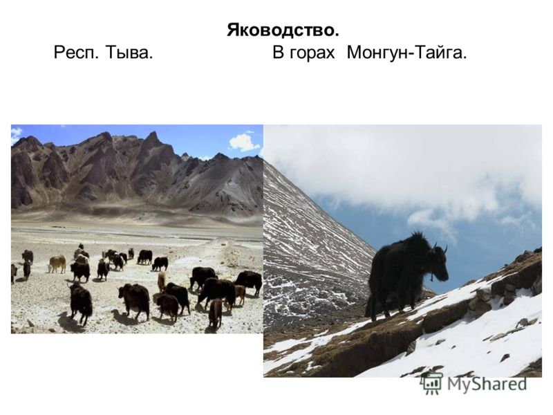Яководство. Респ. Тыва. В горах Монгун-Тайга.