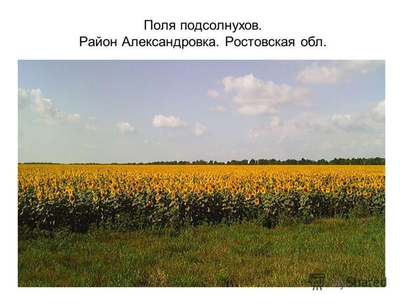 Поля подсолнухов. Район Александровка. Ростовская обл.