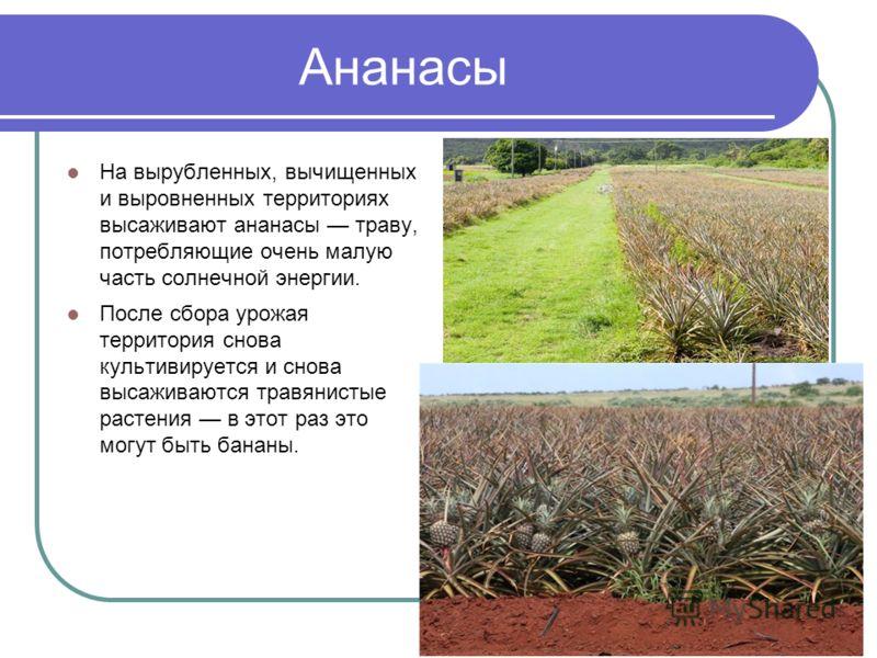 Ананасы На вырубленных, вычищенных и выровненных территориях высаживают ананасы траву, потребляющие очень малую часть солнечной энергии. После сбора урожая территория снова культивируется и снова высаживаются травянистые растения в этот раз это могут