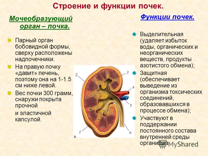 Строение и функции почек. Мочеобразующий орган – почка. Парный орган бобовидной формы, сверху расположены надпочечники. На правую почку «давит» печень, поэтому она на 1-1.5 см ниже левой. Вес почки 300 грамм, снаружи покрыта прочной и эластичной капс