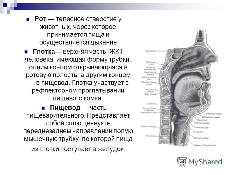 Рот телесное отверстие у животных, через которое принимается пища и осуществляется дыхание Глотка верхняя часть ЖКТ человека, имеющая форму трубки, одним концом открывающаяся в ротовую полость, а другим концом в пищевод. Глотка участвует в рефлекторн
