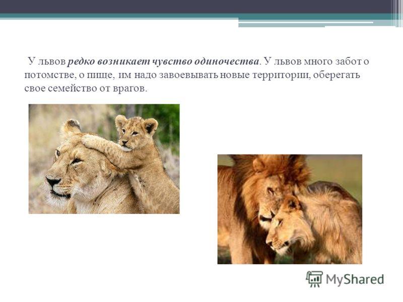 У львов редко возникает чувство одиночества. У львов много забот о потомстве, о пище, им надо завоевывать новые территории, оберегать свое семейство от врагов.