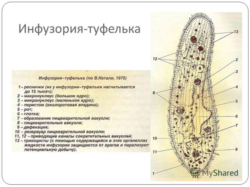 Инфузория - туфелька