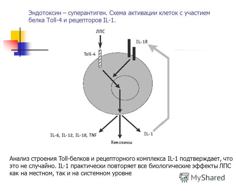Устойчив : Чувствителен: К кислым хлору, Низким температурам ультрафиолету Эндотоксин – суперантиген. Схема активации клеток с участием белка Toll-4 и рецепторов IL-1. Анализ строения Toll-белков и рецепторного комплекса IL-1 подтверждает, что это не
