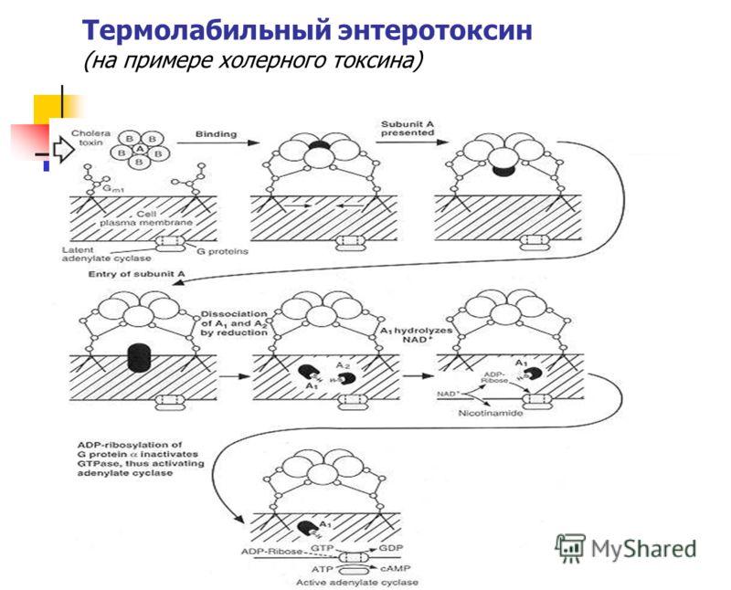 Термолабильный энтеротоксин (на примере холерного токсина)