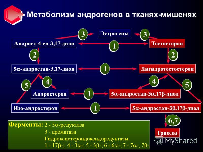 Метаболизм андрогенов в тканях-мишенях Эстрогены Андрост-4-ен-3,17-дион 5 -андростан-3,17-дион Андростерон Изо-андростерон Тестостерон Дигидротестостерон 5 -андростан-3,17 -диол Триолы 1 1 1 1 3 3 22 4 4 5 5 6,7 Ферменты: 2 - 5 -редуктаза 3 - аромата