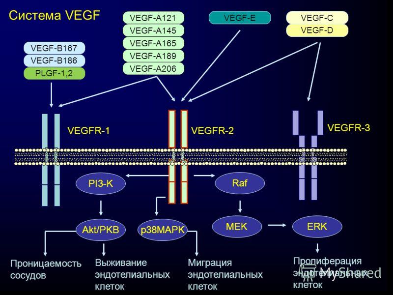 VEGF-B167 VEGF-B186 PLGF-1,2 VEGF-A121 VEGF-A145 VEGF-A165 VEGF-A206 VEGF-A189 VEGF-EVEGF-C VEGF-D VEGFR-1 VEGFR-2 VEGFR-3 PI3-K Akt/PKBp38MAPK Raf MEKERK Проницаемость сосудов Выживание эндотелиальных клеток Миграция эндотелиальных клеток Пролиферац