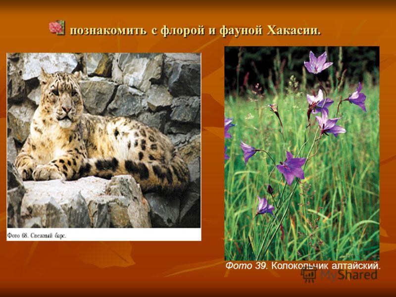 познакомить с флорой и фауной Хакасии. познакомить с флорой и фауной Хакасии. Фото 39. Колокольчик алтайский.
