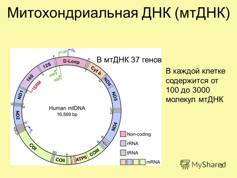 Митохондриальная ДНК (мтДНК) В мтДНК 37 генов В каждой клетке содержится от 100 до 3000 молекул мтДНК 3