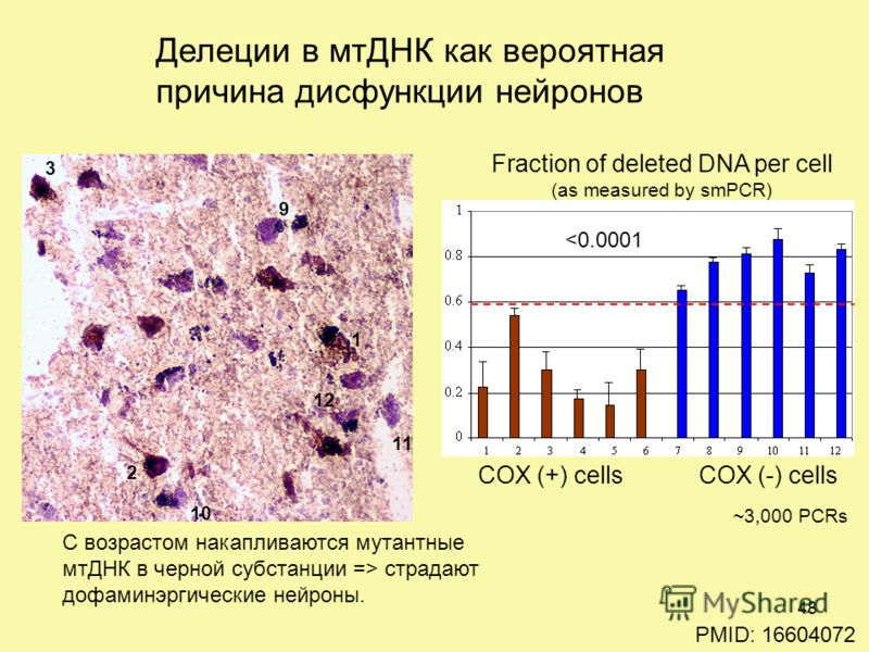 COX (+) cellsCOX (-) cells Fraction of deleted DNA per cell (as measured by smPCR) ~3,000 PCRs p