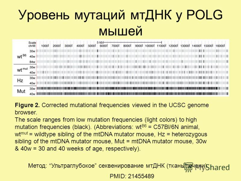 Уровень мутаций мтДНК у POLG мышей PMID: 21455489 Метод: Ультраглубокое секвенирование мтДНК (ткань печени). Figure 2. Corrected mutational frequencies viewed in the UCSC genome browser. The scale ranges from low mutation frequencies (light colors) t