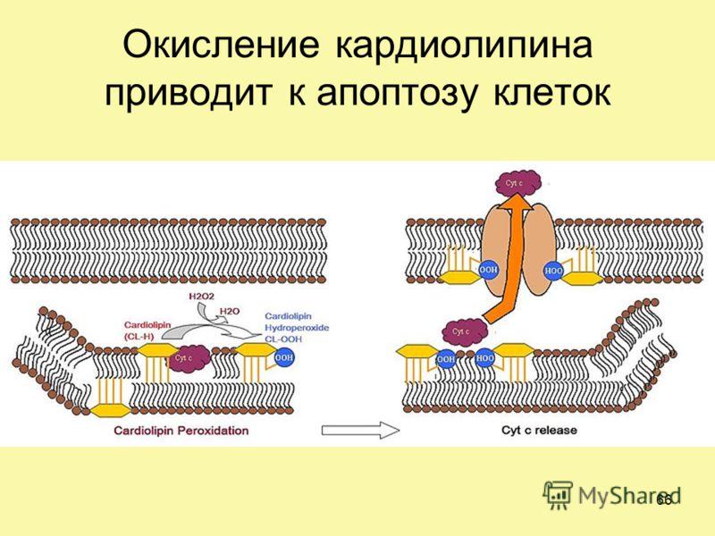 Окисление кардиолипина приводит к апоптозу клеток 66