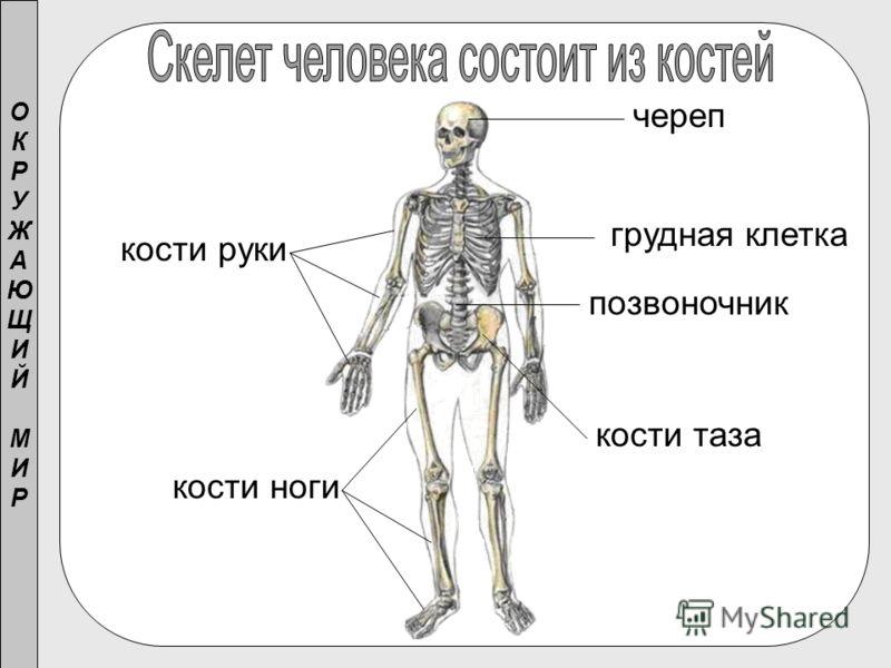 череп позвоночник грудная клетка кости руки кости таза кости ноги ОКРУЖАЮЩИЙМИРОКРУЖАЮЩИЙМИР