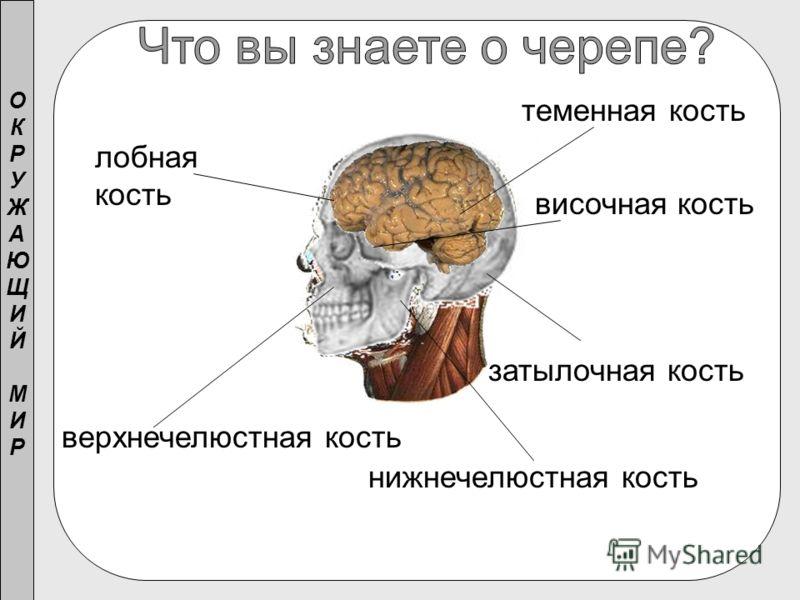 ОКРУЖАЮЩИЙМИРОКРУЖАЮЩИЙМИР лобная кость теменная кость затылочная кость височная кость верхнечелюстная кость нижнечелюстная кость
