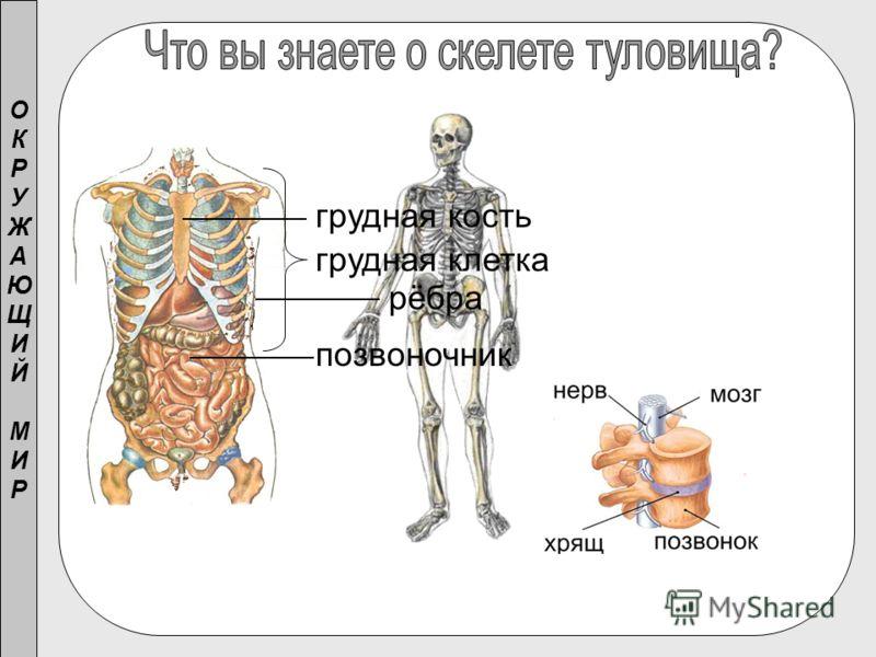 ОКРУЖАЮЩИЙМИРОКРУЖАЮЩИЙМИР позвоночник рёбра грудная кость грудная клетка