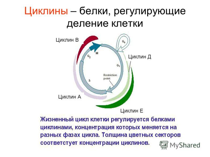 Циклин Е Циклин Д Циклин А Циклин В Циклины – белки, регулирующие деление клетки