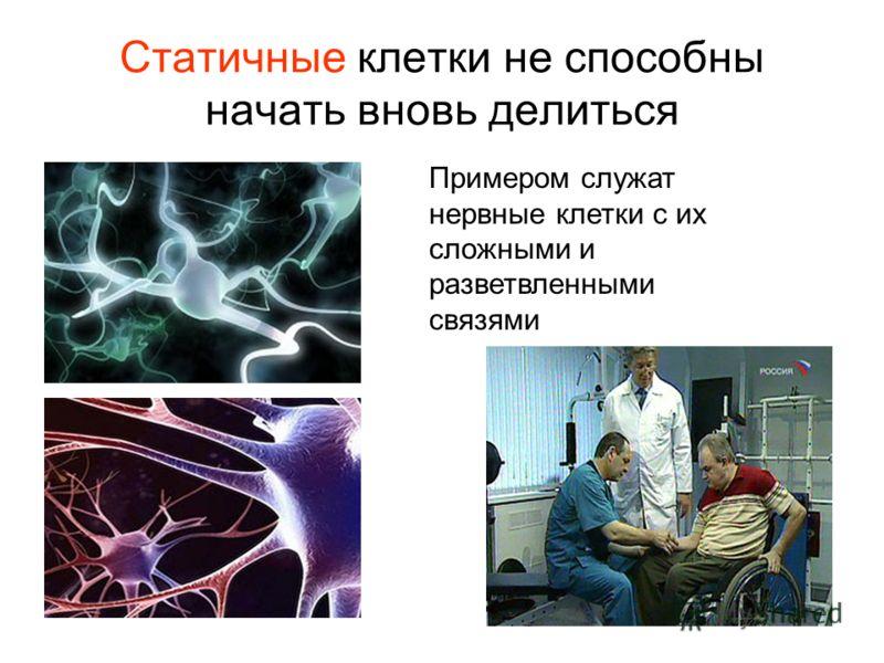 Статичные клетки не способны начать вновь делиться Примером служат нервные клетки с их сложными и разветвленными связями