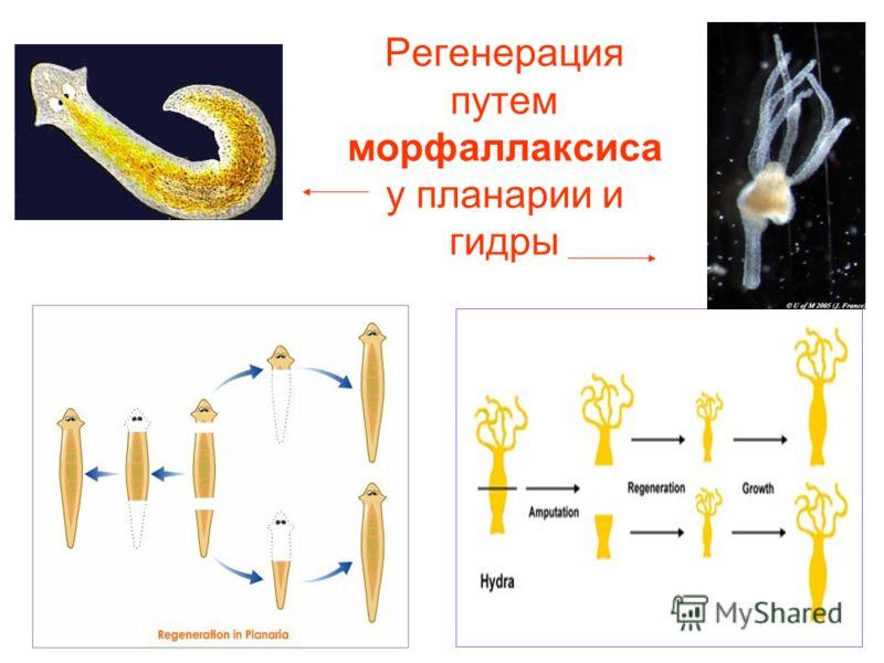 Регенерация путем морфаллаксиса у планарии и гидры