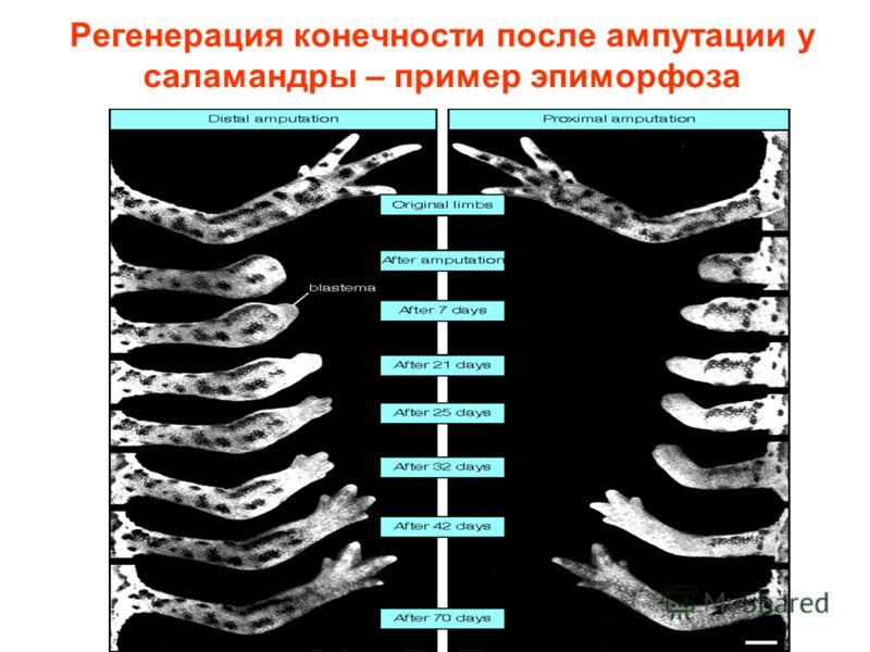 Регенерация конечности после ампутации у саламандры – пример эпиморфоза