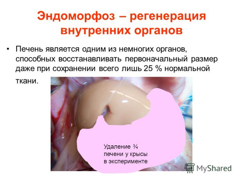 Эндоморфоз – регенерация внутренних органов Печень является одним из немногих органов, способных восстанавливать первоначальный размер даже при сохранении всего лишь 25 % нормальной ткани. Удаление ¾ печени у крысы в эксперименте