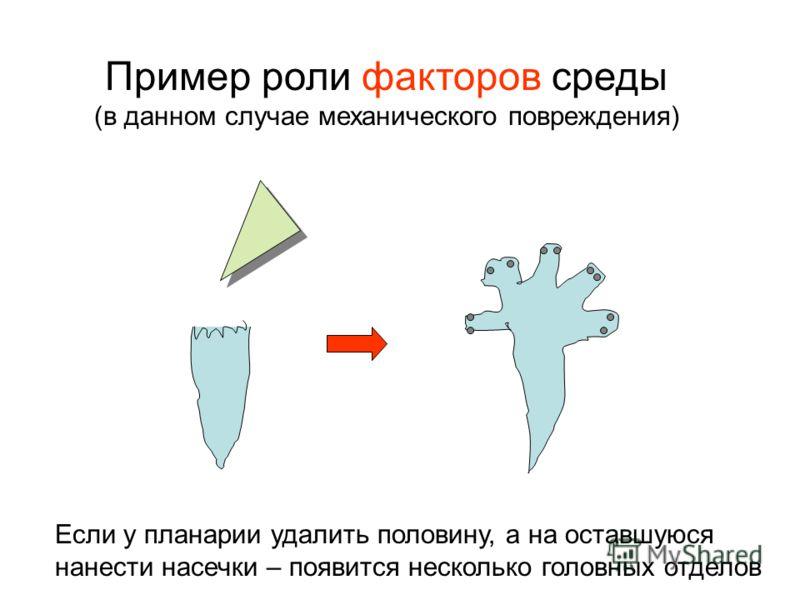 Пример роли факторов среды (в данном случае механического повреждения) Если у планарии удалить половину, а на оставшуюся нанести насечки – появится несколько головных отделов