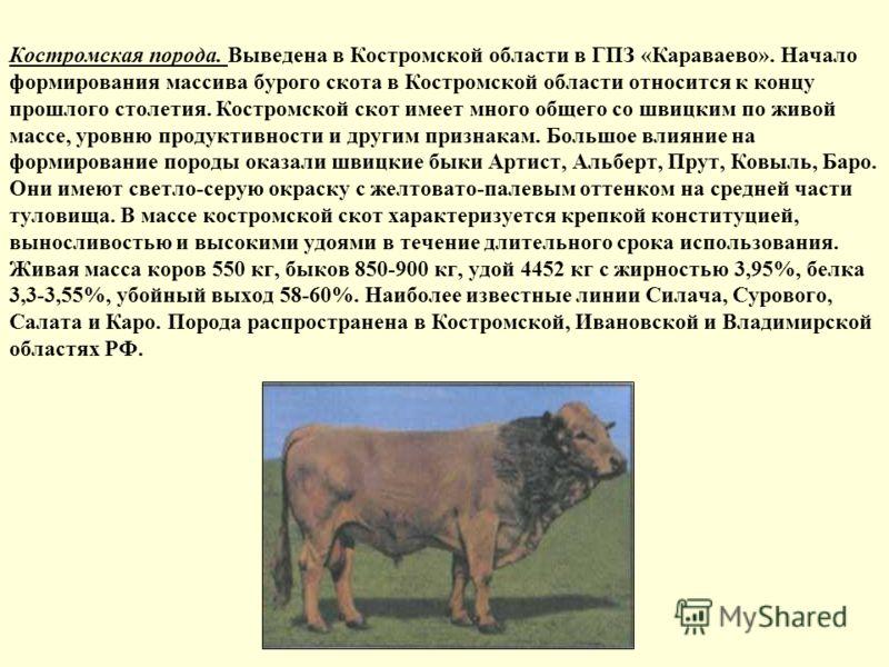 Костромская порода. Выведена в Костромской области в ГПЗ «Караваево». Начало формирования массива бурого скота в Костромской области относится к концу прошлого столетия. Костромской скот имеет много общего со швицким по живой массе, уровню продуктивн