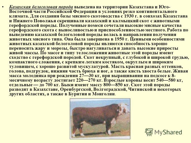 Казахская белоголовая порода выведена на территории Казахстана и Юго- Восточной части Российской Федерации в условиях резко континентального климата. Для создания базы мясного скотоводства с 1930 г. в совхозах Казахстана и Нижнего Поволжья скрещивали