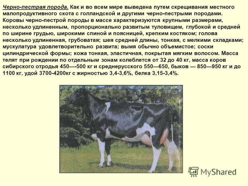 Черно-пестрая порода. Как и во всем мире выведена путем скрещивания местного малопродуктивного скота с голландской и другими черно-пестрыми породами. Коровы черно-пестрой породы в массе характеризуются крупными размерами, несколько удлиненным, пропор