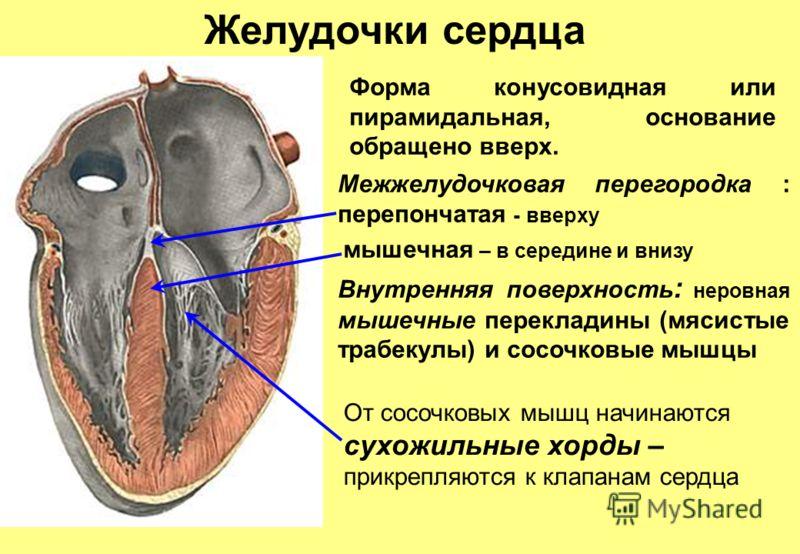 Желудочки сердца Межжелудочковая перегородка : перепончатая - вверху мышечная – в середине и внизу Внутренняя поверхность : неровная мышечные перекладины (мясистые трабекулы) и сосочковые мышцы Форма конусовидная или пирамидальная, основание обращено