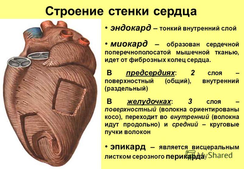 Строение стенки сердца эндокард – тонкий внутренний слой миокард – образован сердечной поперечнополосатой мышечной тканью, идет от фиброзных колец сердца. В предсердиях : 2 слоя – поверхностный (общий), внутренний (раздельный) В желудочках : 3 слоя –