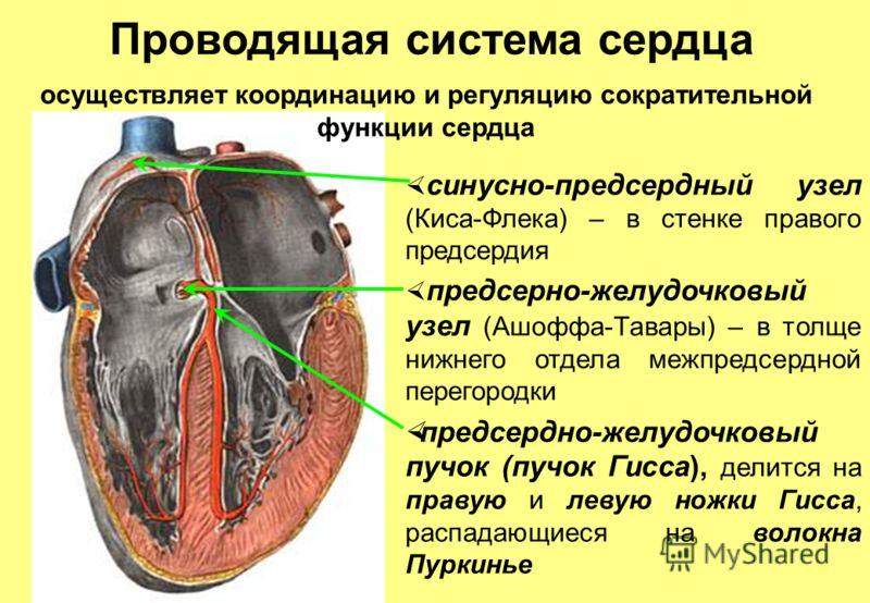 Проводящая система сердца синусно-предсердный узел (Киса-Флека) – в стенке правого предсердия предсерно-желудочковый узел (Ашоффа-Тавары) – в толще нижнего отдела межпредсердной перегородки предсердно-желудочковый пучок (пучок Гисса), делится на прав