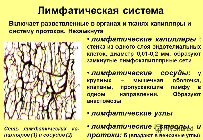 Сеть лимфатических ка- пилляров (1) и сосудов (2) Лимфатическая система Включает разветвленные в органах и тканях капилляры и систему протоков. Незамкнута лимфатические капилляры : стенка из одного слоя эндотелиальных клеток, диаметр 0,01-0,2 мм, обр