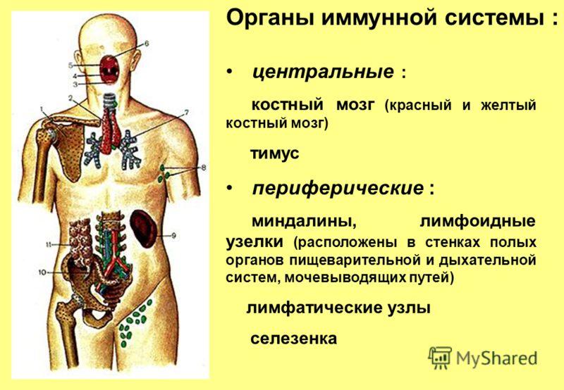 Органы иммунной системы : центральные : костный мозг (красный и желтый костный мозг) тимус периферические : миндалины, лимфоидные узелки (расположены в стенках полых органов пищеварительной и дыхательной систем, мочевыводящих путей) лимфатические узл