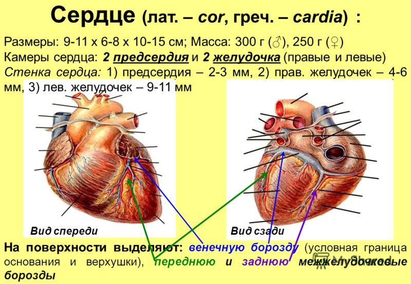 Сердце (лат. – cor, греч. – сardia) : Вид спереди Размеры: 9-11 х 6-8 х 10-15 см; Масса: 300 г (), 250 г () Камеры сердца: 2 предсердия и 2 желудочка (правые и левые) Стенка сердца: 1) предсердия – 2-3 мм, 2) прав. желудочек – 4-6 мм, 3) лев. желудоч