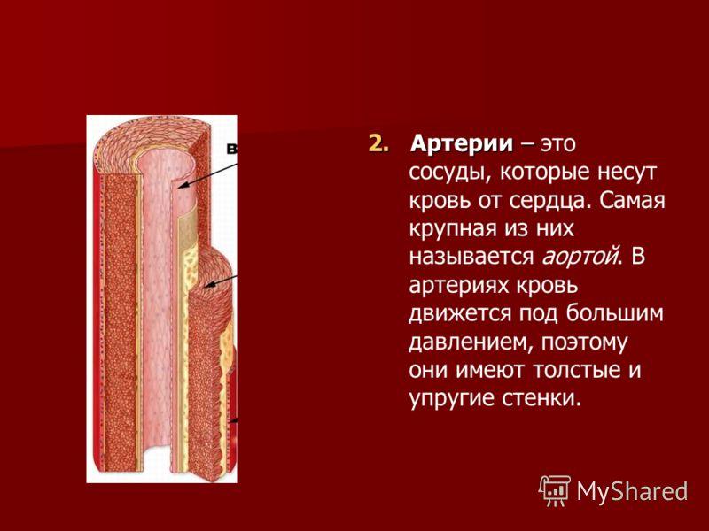 2. Артерии – 2. Артерии – это сосуды, которые несут кровь от сердца. Самая крупная из них называется аортой. В артериях кровь движется под большим давлением, поэтому они имеют толстые и упругие стенки.