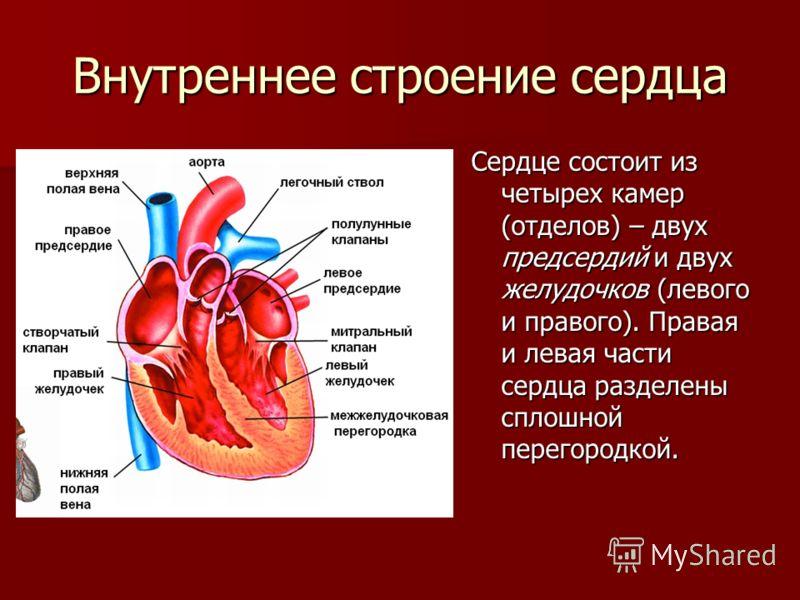Внутреннее строение сердца Сердце состоит из четырех камер (отделов) – двух предсердий и двух желудочков (левого и правого). Правая и левая части сердца разделены сплошной перегородкой.