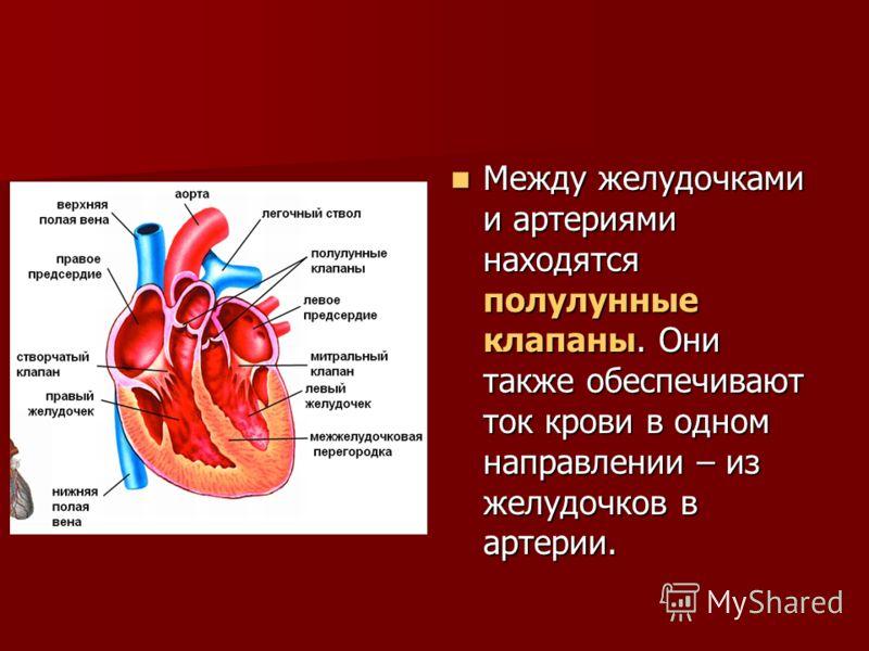 Между желудочками и артериями находятся полулунные клапаны. Они также обеспечивают ток крови в одном направлении – из желудочков в артерии. Между желудочками и артериями находятся полулунные клапаны. Они также обеспечивают ток крови в одном направлен