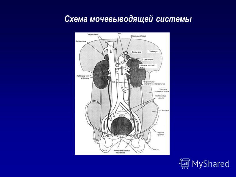 Схема мочевыводящей системы