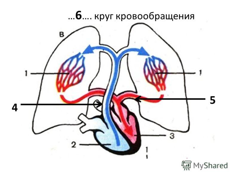 … 6 …. круг кровообращения 4 5
