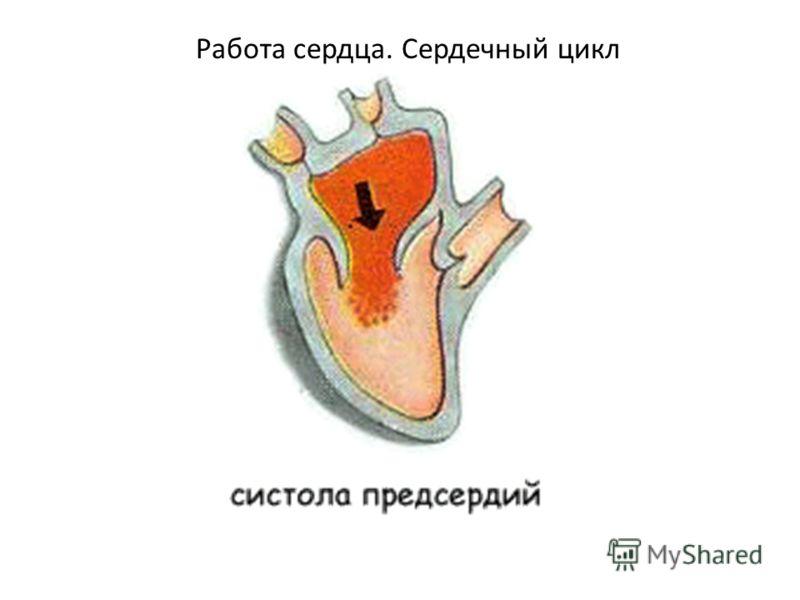 Работа сердца. Сердечный цикл