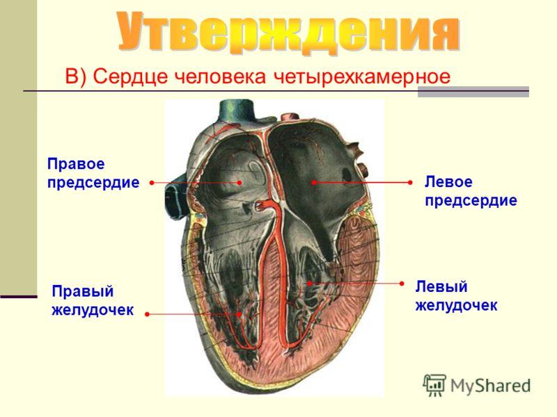 В) Сердце человека четырехкамерное Левое предсердие Левый желудочек Правое предсердие Правый желудочек