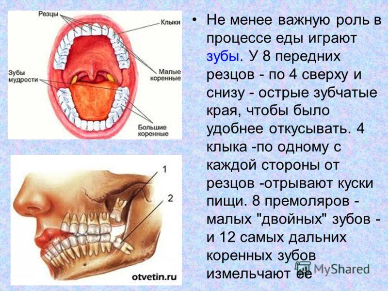 Не менее важную роль в процессе еды играют зубы. У 8 передних резцов - по 4 сверху и снизу - острые зубчатые края, чтобы было удобнее откусывать. 4 клыка -по одному с каждой стороны от резцов -отрывают куски пищи. 8 премоляров - малых