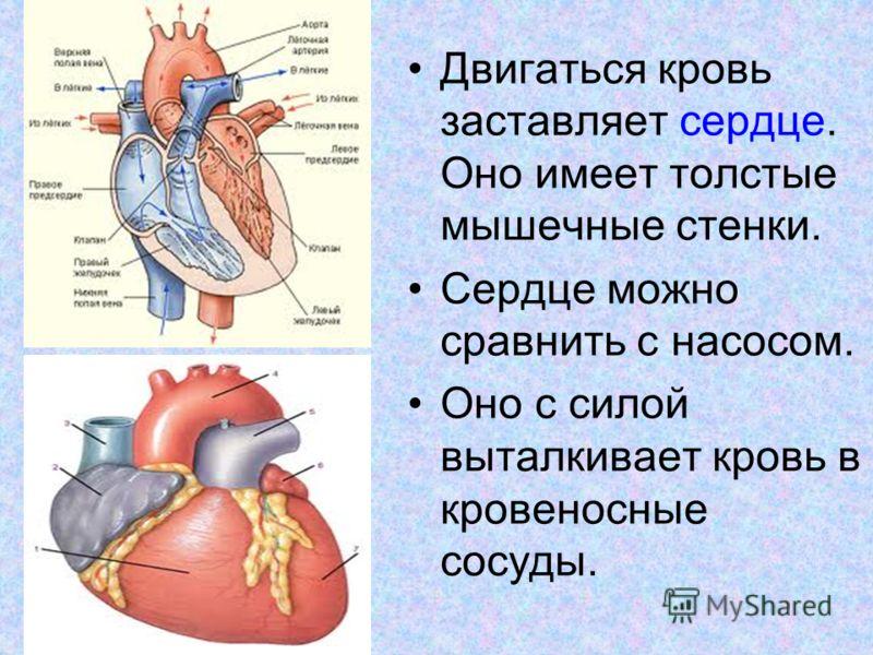 Двигаться кровь заставляет сердце. Оно имеет толстые мышечные стенки. Сердце можно сравнить с насосом. Оно с силой выталкивает кровь в кровеносные сосуды.