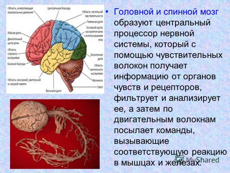 Головной и спинной мозг образуют центральный процессор нервной системы, который с помощью чувствительных волокон получает информацию от органов чувств и рецепторов, фильтрует и анализирует ее, а затем по двигательным волокнам посылает команды, вызыва