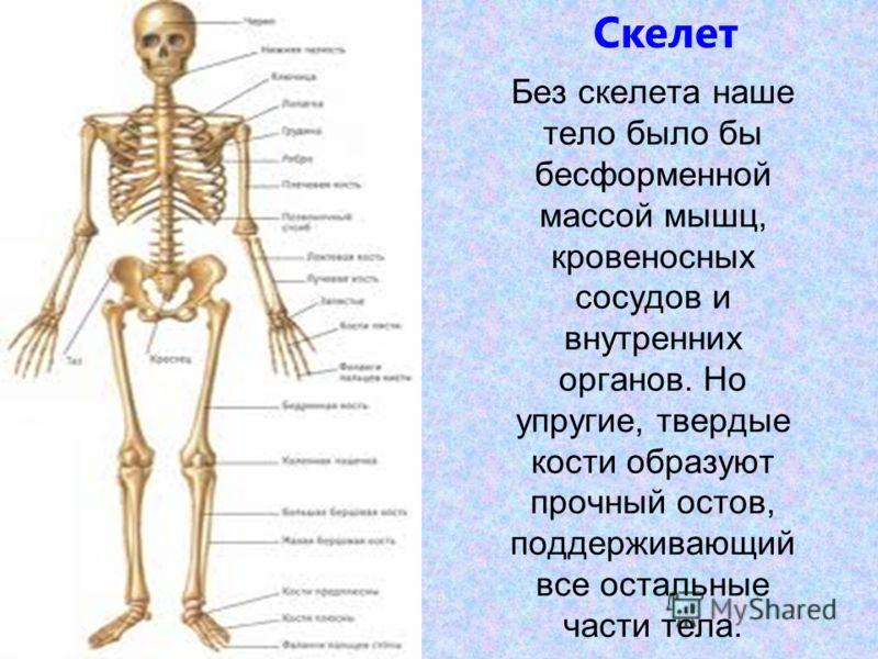 Без скелета наше тело было бы бесформенной массой мышц, кровеносных сосудов и внутренних органов. Но упругие, твердые кости образуют прочный остов, поддерживающий все остальные части тела. Скелет