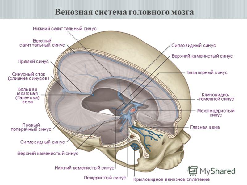 Венозная система головного мозга