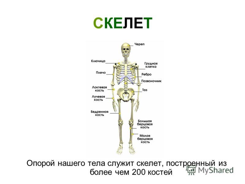 СКЕЛЕТ Опорой нашего тела служит скелет, построенный из более чем 200 костей