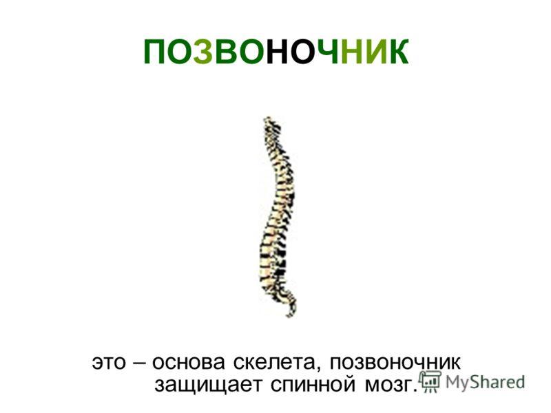 ПОЗВОНОЧНИК это – основа скелета, позвоночник защищает спинной мозг.