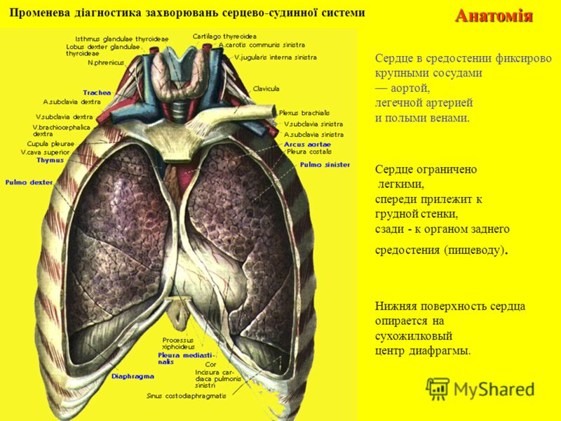 Променева діагностика захворювань серцево-судинної системиАнатомія Нижняя поверхность сердца опирается на сухожилковый центр диафрагмы. Сердце в средостении фиксирово крупными сосудами аортой, легечной артерией и полыми венами. Сердце ограничено легк