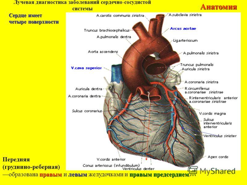 Лучевая диагностика заболеваний сердечно-сосудистой системыАнатомия Передняя (груднино-реберная) правымлевымправым предсердием образована правым и левым желудочками и правым предсердием. Сердце имеет четыре поверхности